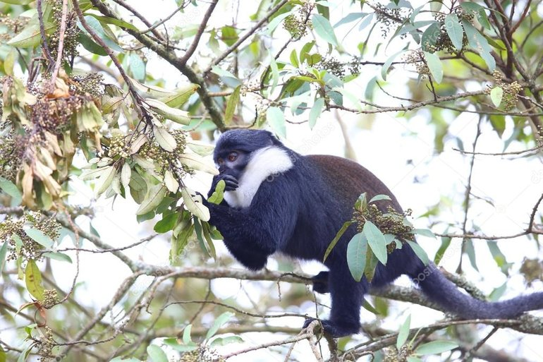 L'hoest Monkey in Nyungwe National Park