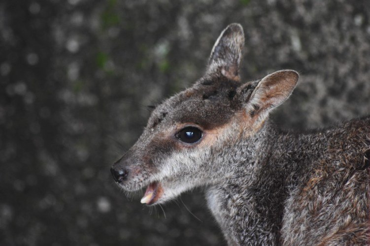 Little Wallaby On Magnetic Island