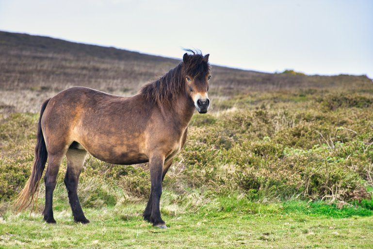 A Wild Pony on the moors of Exmoor National Park