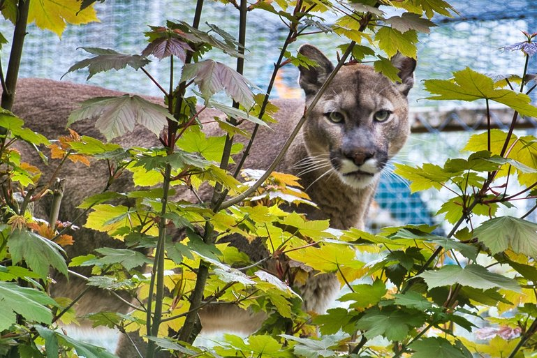 The Puma up on the platform amongst the foliage