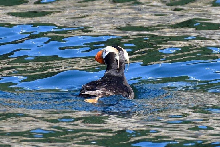 Puffin in Kodiak bay