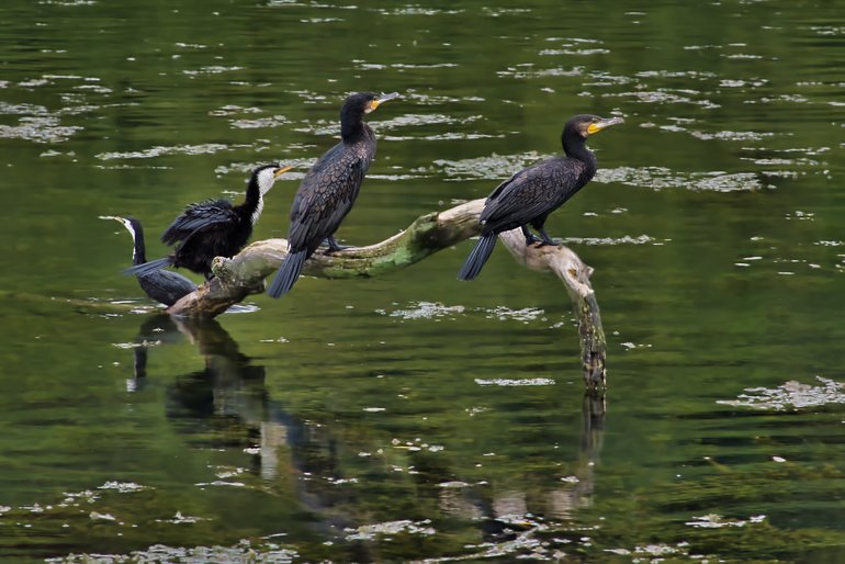 Some of the waterbirds you'll find along the Waikato