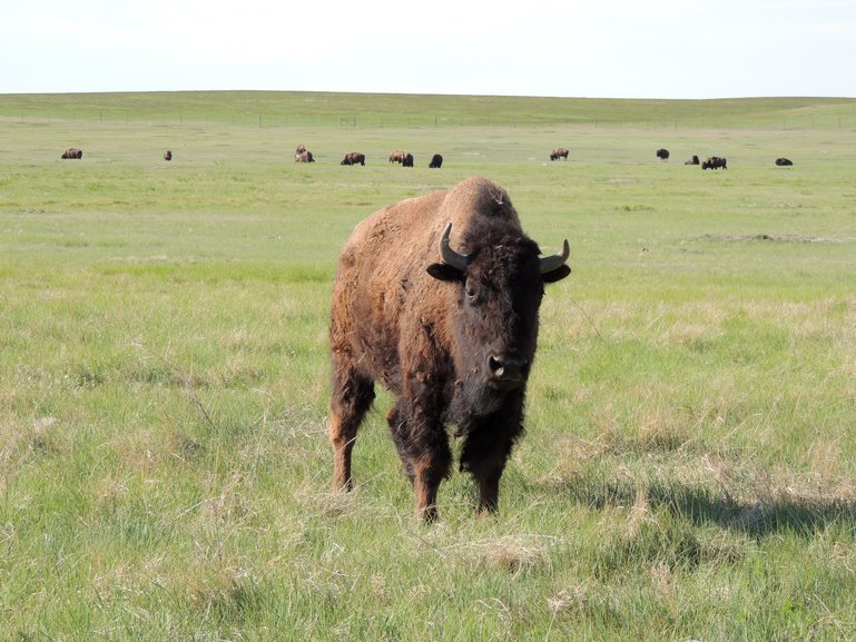 Buffalo herd in Yellowstone's Lamar Valley