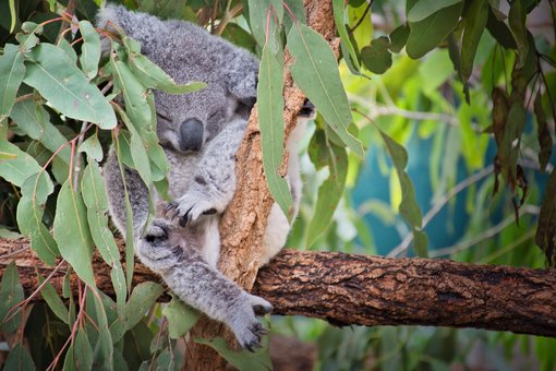 Koalas Around Brisbane