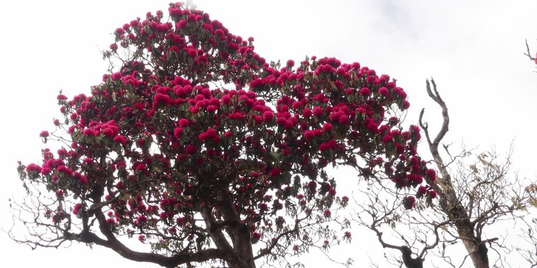 tree of rhododendron