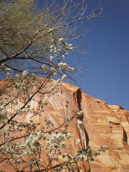 Apple Blossoms,  Capitol Reef  NP