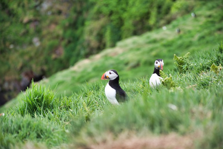 Puffins standing outside their burrows on the slopes leading back down to where the ferry came in