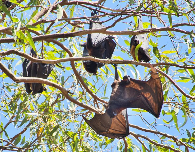 Look up while you're walking through the gardens to see sleeping, or not, Fruit Bats