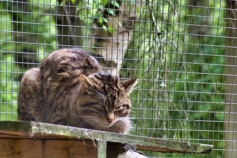 The Scottish Wildcat looking more like a Tabby keeping an eye on all that is going on around