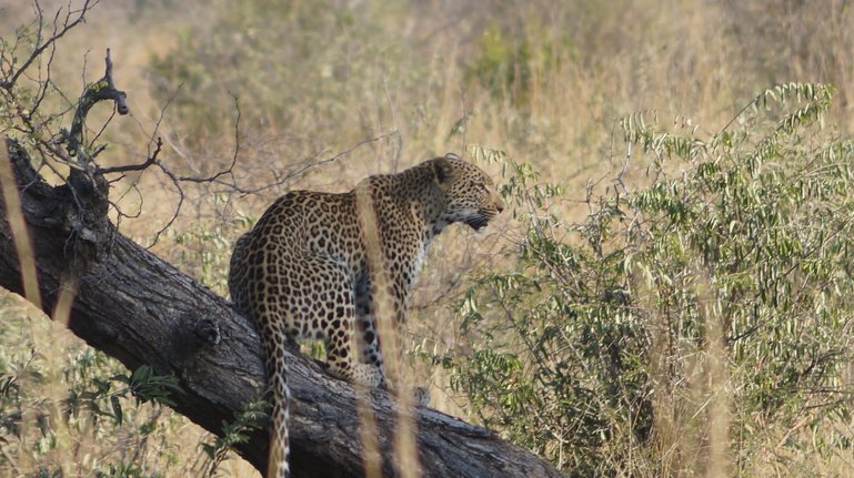 Leopard at Kruger National Park, South Africa