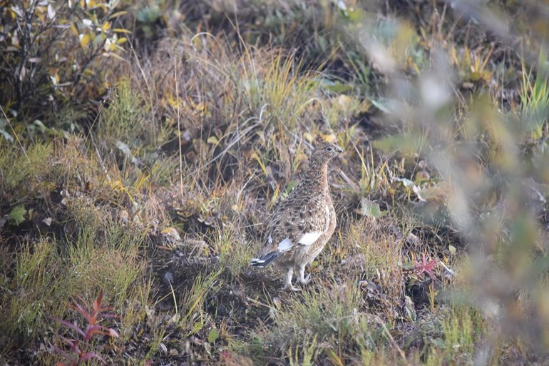 Ptarmigan, the national bird of Alaska