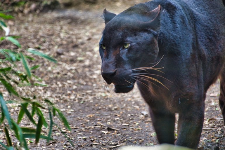 The Black Leopard also known as the Exmoor Beast