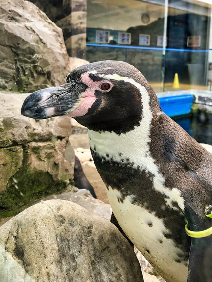 A curious Humboldt Penguin checking out whose in the Cafe