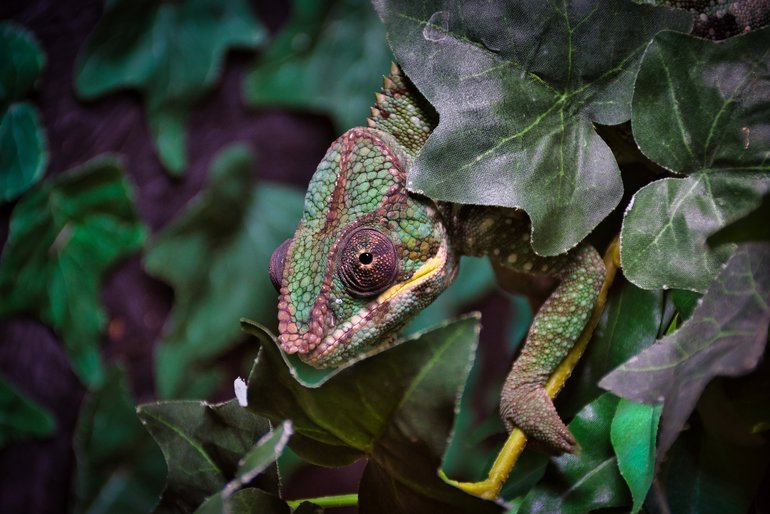 The Chameleon blending in with the foliage