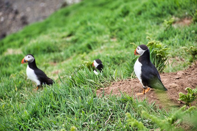 Three Puffins waiting by their burrows for their partners to come back with Sand Eels