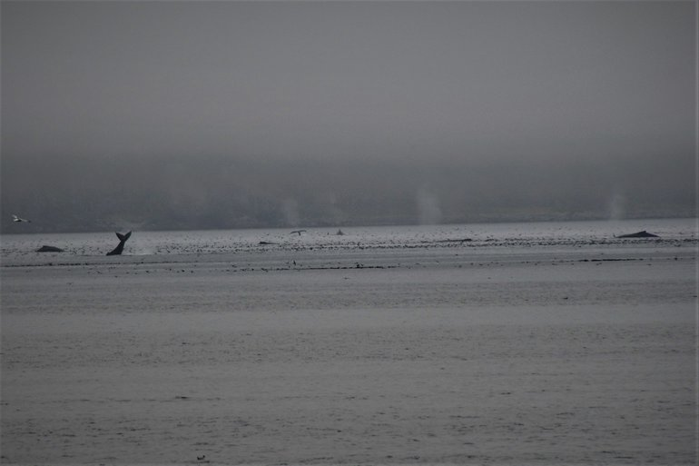 Humpback whales view from the beach in Dutch Harbor