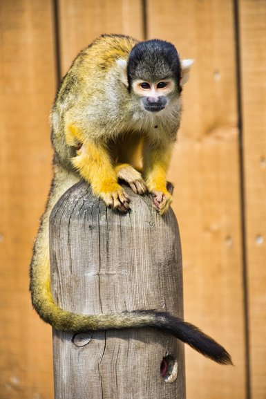 Squirrel Monkeys running free around their enclosure that you're allowed in