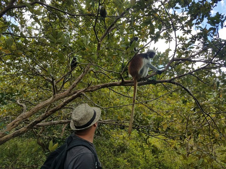 Red Colobus Monkey in the Jozan Forest