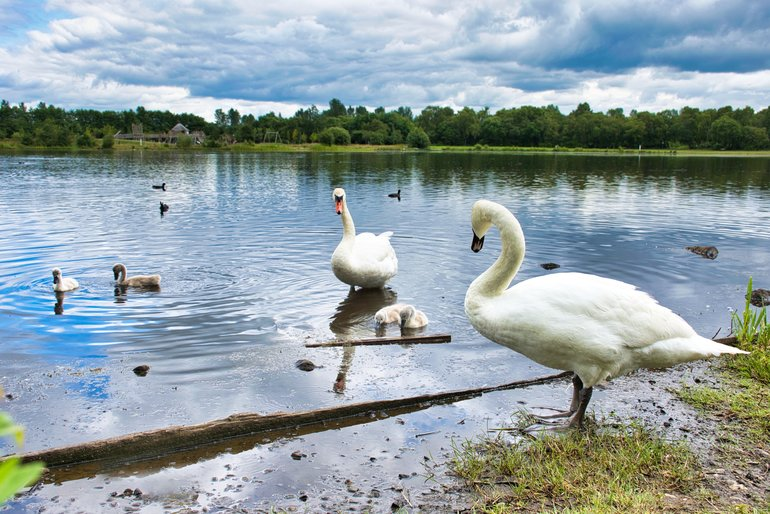 The Swan Family beside the natural loch