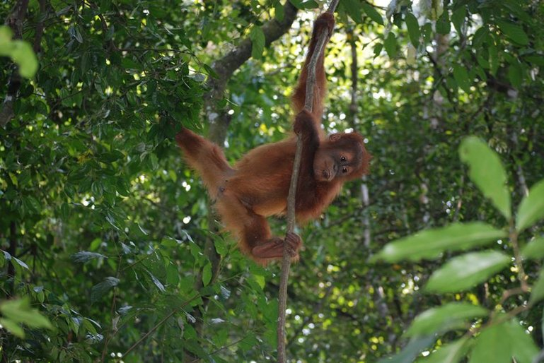 Baby orangutan in the North Sumatra jungle