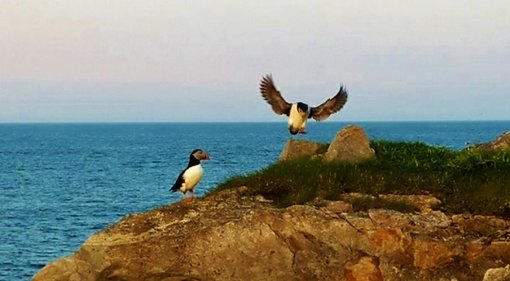 Newfoundland: The Elliston Puffins