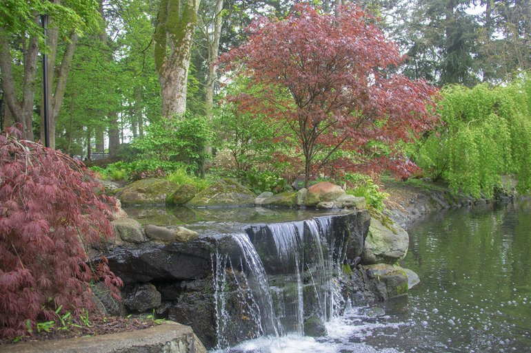 Red Leaf Maple trees and soothing waterfalls.