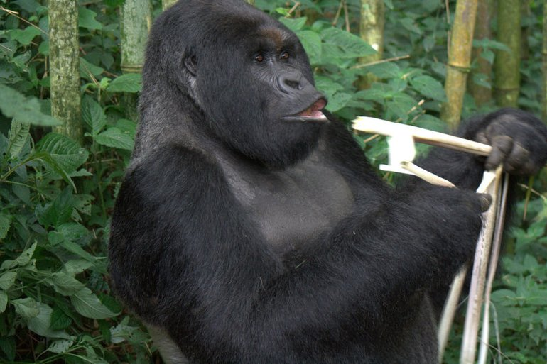 Bwindi National Park Gorilla