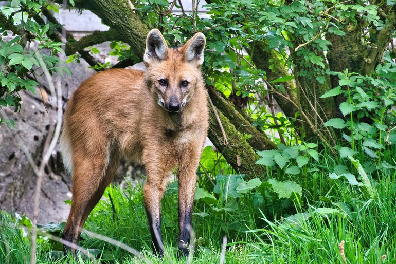Maned Wolf amongst the bush