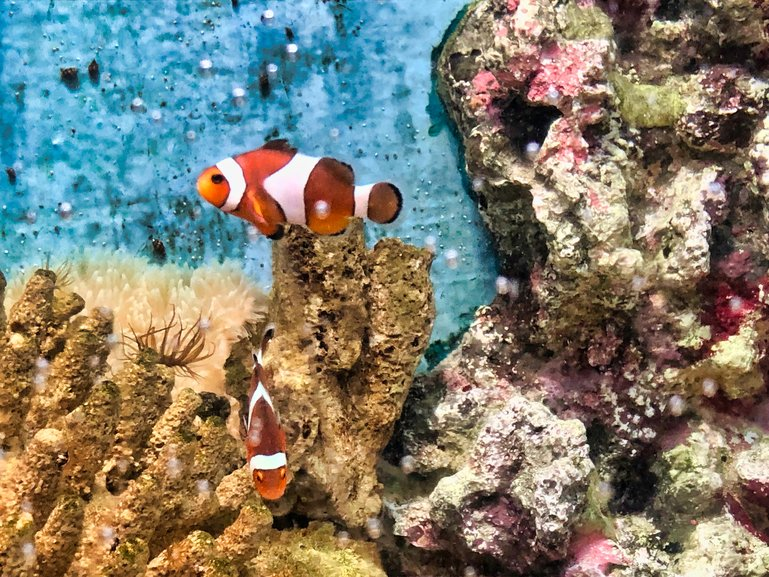 It wouldn't be an aquarium without Clown Fish to entertain