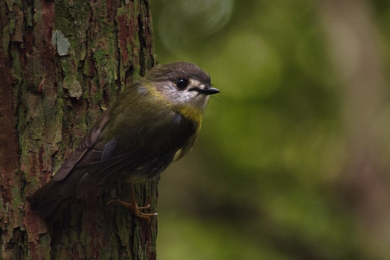 The pale-yellow Robin darting amongst the trees