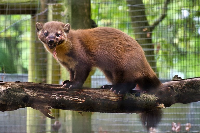 The Pine Marten finding its lunch strategically placed around the enclosure