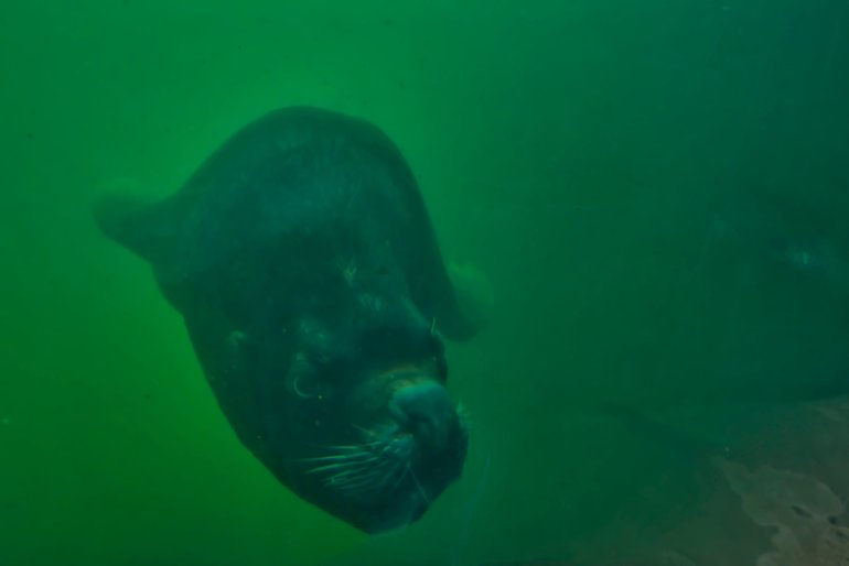 An amazing underwater view of the Patagonian Sea Lion swimming