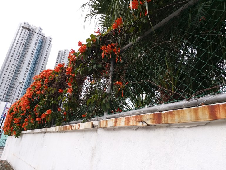 An array of Orange Trumpetvine (blossom time during Chinese New Year in Hong Kong)