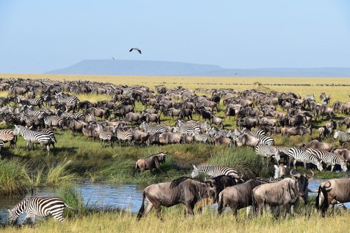 The Great Wildebeest Migration in The Serengeti National Park