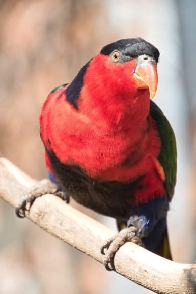 The Macaw, Corella and Black-Capped Lory