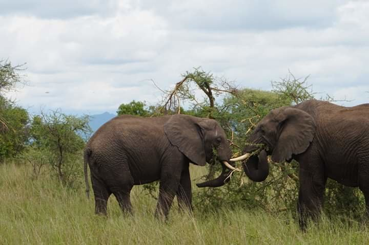 The Giant Elephant in The Tarangire National Park