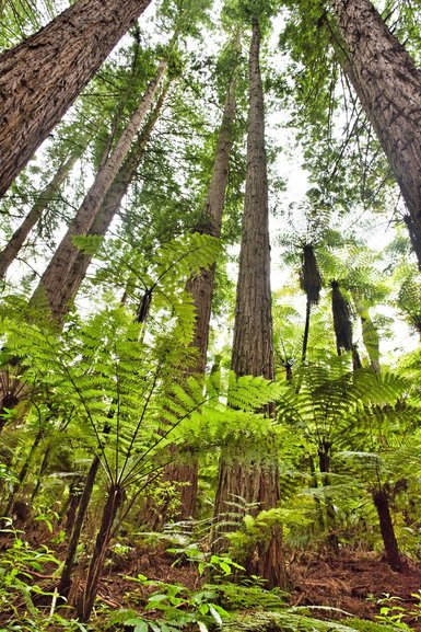 Tall Redwoods and ferns climbing to the sky