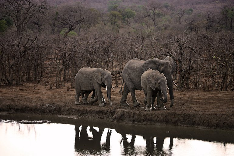 Elephants on African Safari