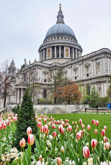 The Tulips in bloom in the gardens of St. Paul's Cathedral