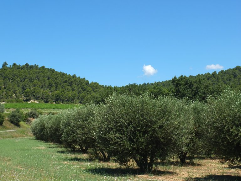 Olive Groves Val Joanis